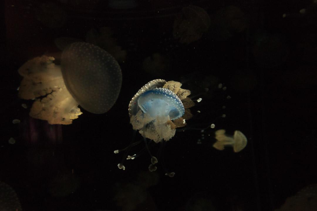 Australian Spotted Jellyfish (Phyllorhiza punctate)