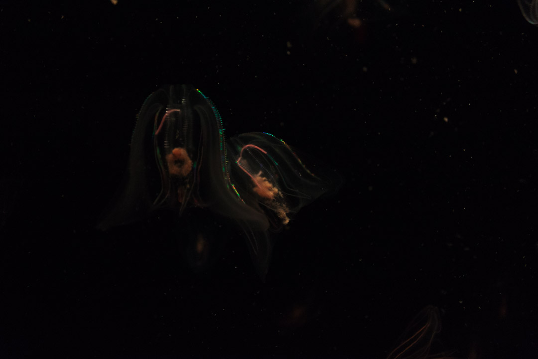 Leidy's Comb Jelly